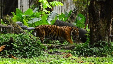 Malayan tiger (Panthera tigris jacksoni) in the zoo