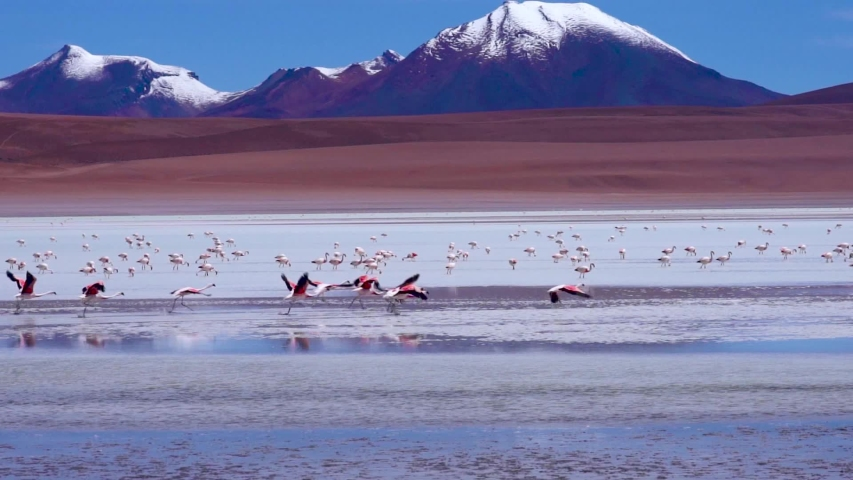 Flamingos taking off and Flying in Slow Motion Close to Water at colorful blue lake with snowy Mountains in Distance. Near Salar de Uyuni, Bolivia, South America | Shutterstock HD Video #1032352109