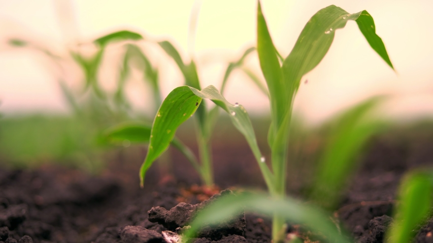 A close-up of vibrant green young corn plants, seedlings on dark brown fertile, moist soil. Corn field, warm spring day, growing corn in an agricultural field | Shutterstock HD Video #1032352529