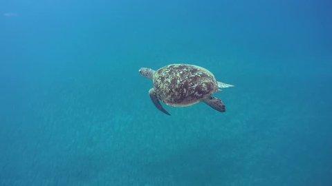 Green sea turtle(Chelonia mydas) slowly swim in blue water, Red sea, Marsa Alam, Abu Dabab, Egypt
