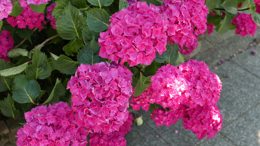Background With Dark Pink Hydrangea Stock Footage Video 100 Royalty Free 1032697139 Shutterstock