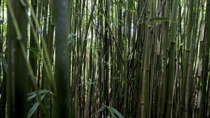 Bamboo forest, wood, green bamboo  /time lapse | Shutterstock HD Video #1032892409