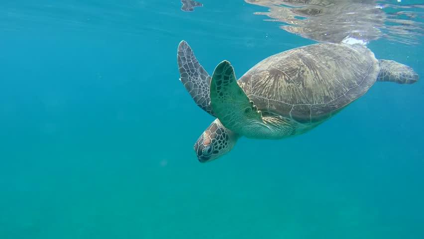 RED SEA, MARSA ALAM, ABU DABAB, EGYPT - MAY, 2015: Woman petting green sea turtle(Chelonia mydas)  on the water surface to breathe, Red sea, Marsa Alam, Abu Dabab, Egypt       #10330379