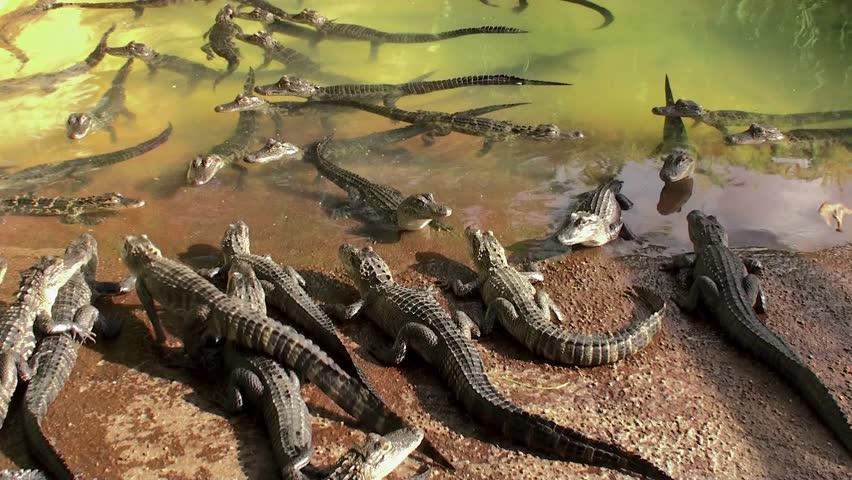 Hatchlings of American Alligator in the Everglades Alligator Farm. Florida, USA.