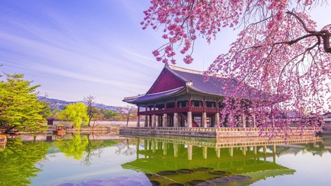 Time lapse of Gyeongbokgung palace and Cherry blossom in spring, Seoul in South Korea.