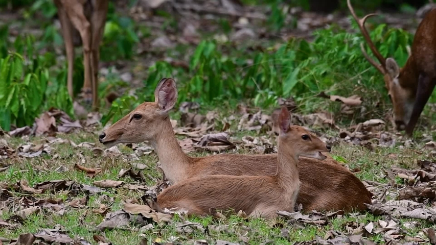 The Eld's Deer is an Endangered species due to habitat loss and hunting;  | Shutterstock HD Video #1033275269
