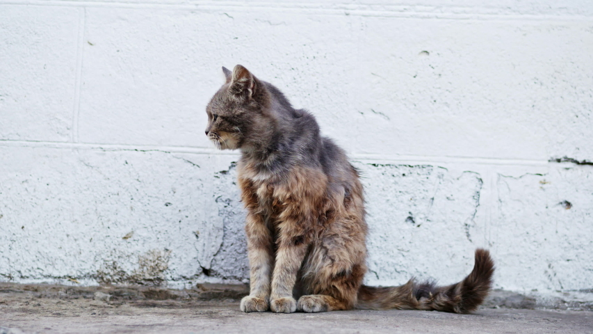 Homeless gray cat licks wool, sick unhappy and dirty on the street, animal shelter concept | Shutterstock HD Video #1033282709