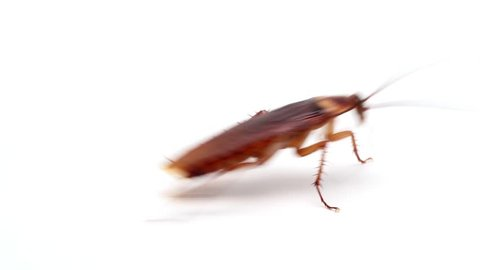 Cockroaches insects fast running on white background