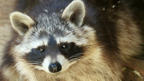 Face of North american raccoon (Procyon lotor) extreme closeup 4K UHD