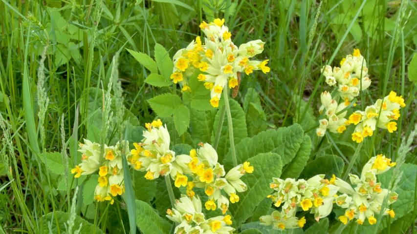 The closer look of the yellow Primula veris flower or also known as the cowslip primrose flower | Shutterstock HD Video #1034052629