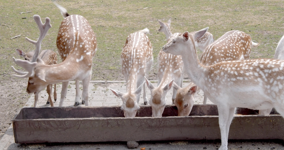 A group of deer and fawns eating from a trough in a forest wild park | Shutterstock HD Video #1034301269