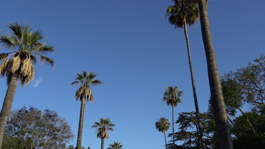 Driving under palm trees in Beverly Hills, California. Camera looks up and moves slowly. Tall California palm trees against blue sky | Shutterstock HD Video #1034373839
