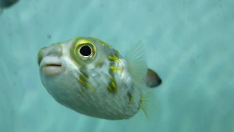 Very cute Blowfish in the water shot