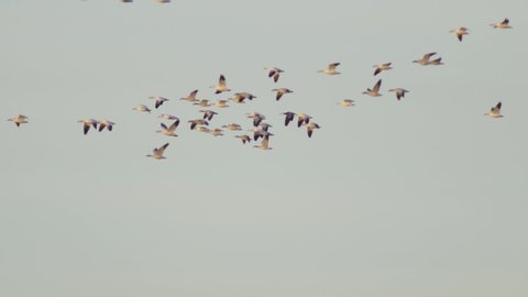 Closeup of distant geese flying in the evening sky. Shot in the autumn.