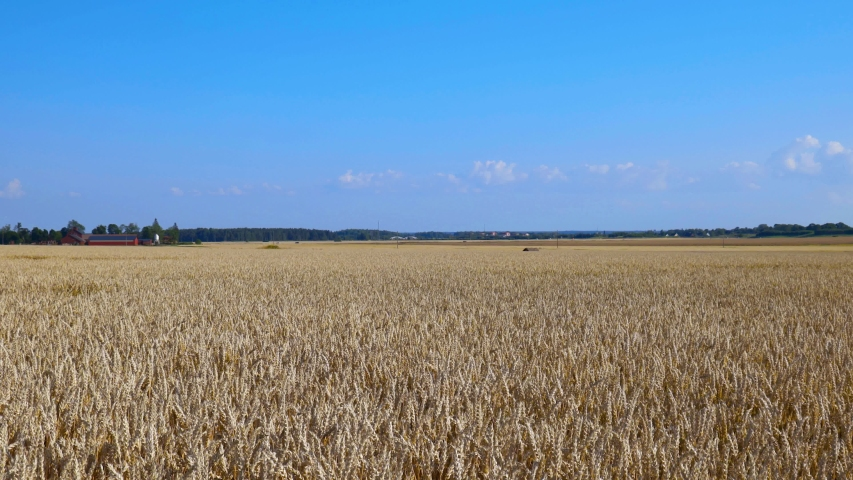 Close up view of part of wheat field.  Summer background. Agriculture concept.  | Shutterstock HD Video #1034551949