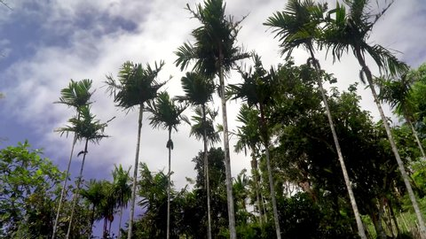 Low angle static view of areca palm trees, blue sky and white clouds