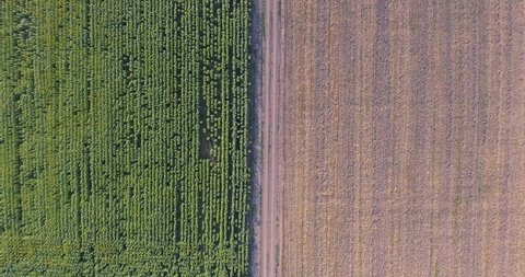 Aerial view, of a Farm fields of sunflower and wheat. Fields of wheat and sunflower.