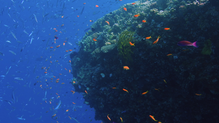 School of fish, Purple and Orange Anthias drift in the current Next to Gorgeous Coral Bommie. Great Barrier Reef. Australia. Slow motion. Shot with RED Camera. POV Shot. | Shutterstock HD Video #1034799209