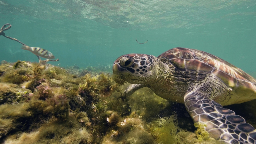 Closeup head of sea turtle Chelonia mydas is eating seaweeds in ocean floor. | Shutterstock HD Video #1035265139