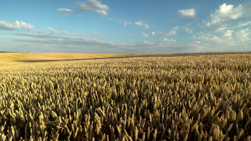 Wheat field. Golden ears of wheat on the field. Background of ripening ears of meadow wheat field. Rich harvest. Agriculture of natural product.   Shutterstock HD Video #1035338579