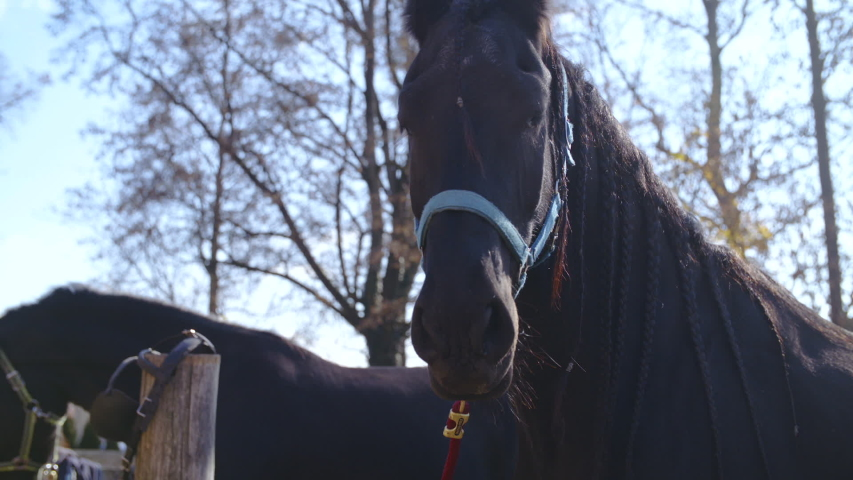 Black Friesian horse head. Long shot of black horse head in focus tied up to halter. #1035343139