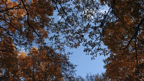 Looking up at autumn oaks yellow trees. Orange and red leaves in the old forest. Looking up to the tall trees. A low angle view of colorful autumn leaves on trees in a forest. Autumn trees in the wind
