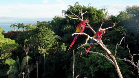 Drone Footage Trucking Past Two Scarlet Macaws Perched in the Wild on a Dried Up Tree Surrounded by Green Tropical Trees Near Manuel Antonio, Costa Rica