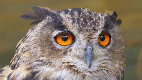 Owl Looking Around with Big Orange Eyes Close Up