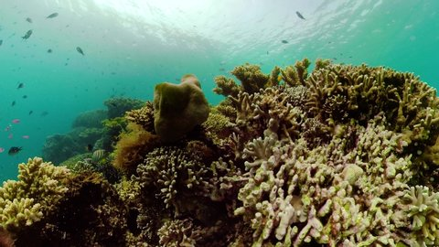 Tropical fishes and coral reef at diving, 360 panorama. Underwater world with corals and tropical fishes. Camiguin, Philippines.