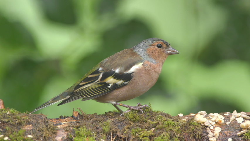 Bird common chaffinch on ground feed rainy day turn head fly away colorful green background | Shutterstock HD Video #1035924149