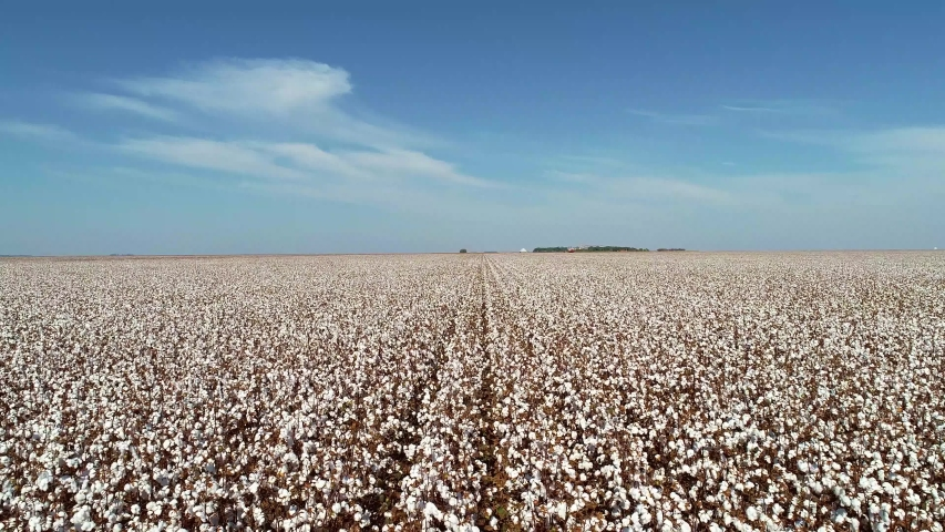Smooth drone movement, large white cotton field in Brazil   Shutterstock HD Video #1036079429