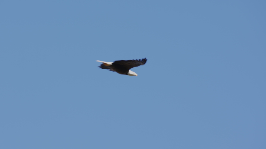 An American Bald Eagle flies isolated in a bright blue sky. National Symbol of Patriotic Freedom for the United States of America