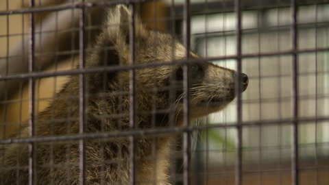 Steady, close up shot of a raccoon in a cage.