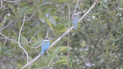 Adult Collared Kingfisher couple, (Todiramphus chloris) in the Sunderbans mangrove forest in West Bengal India.