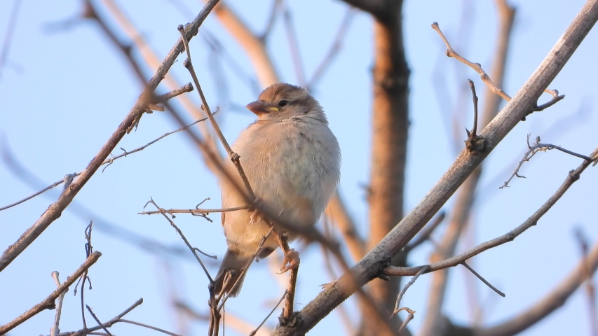 Sparrow sitting on a branch early morning | Shutterstock HD Video #1036804559