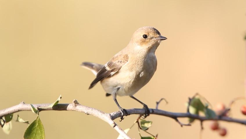 Pied flycatcher, ficedula hypoleuca, birds,animals | Shutterstock HD Video #1037194679