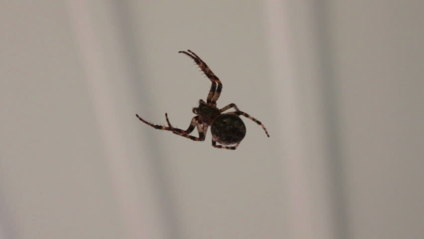 Large black spider weaves a web. | Shutterstock HD Video #10373309