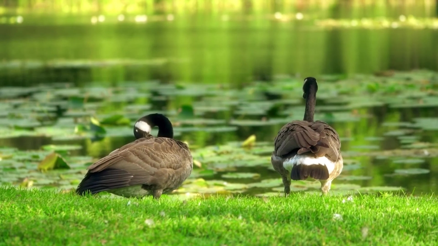 Close-up of 2 Canada Geese