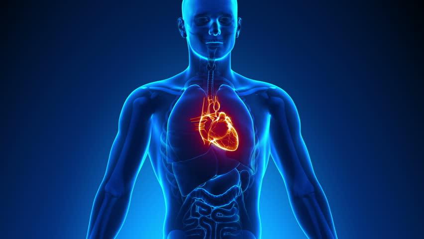 Male Anatomy - Human Heart Scan - Royalty Free Video