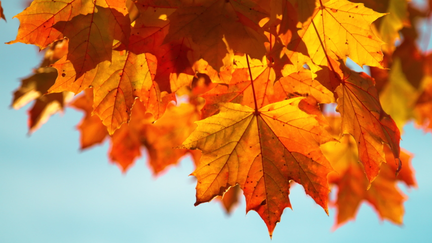SLOW MOTION, CLOSE UP, DOF: Beautiful maple leaves rustle in the autumn breeze blowing through the picturesque park. Cinematic shot of golden tree leaves swaying in the winds blowing through forest. | Shutterstock HD Video #1037858279