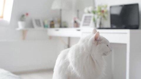 White turkish angora cat with different eyes. Moving camera