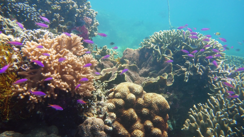 The underwater world of coral reef with fishes at diving. Coral garden under water, Philippines, Camiguin. | Shutterstock HD Video #1038359789