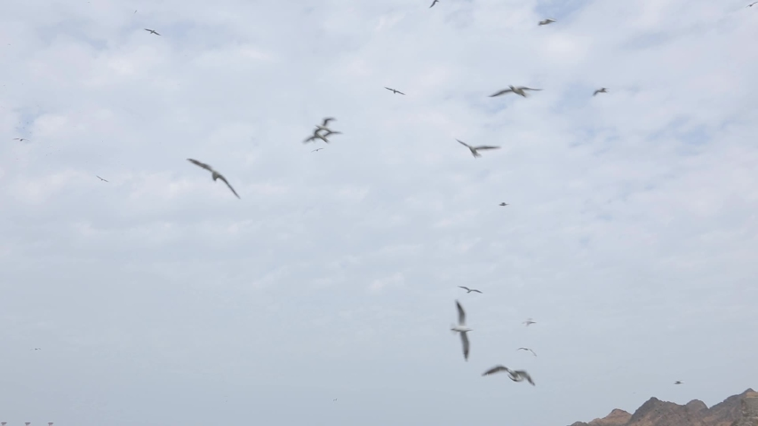 Muscat, Oman, - February 2019. A huge number of birds flies in the air and sits on the parapet on the city's promenade. City street with cars. | Shutterstock HD Video #1038446489