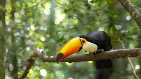 Exotic toucan bird taking flight, natural setting.