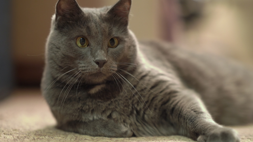 Indoor gray cat with eyes wide open stalking during game in the room. | Shutterstock HD Video #1039199399
