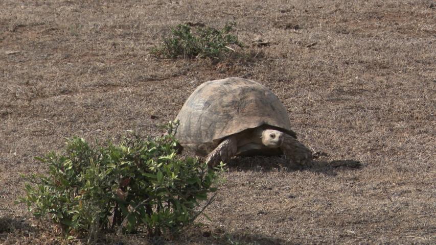 Leopard tortoise (Stigmochelys pardalis) walking on African plain. | Shutterstock HD Video #1039319759