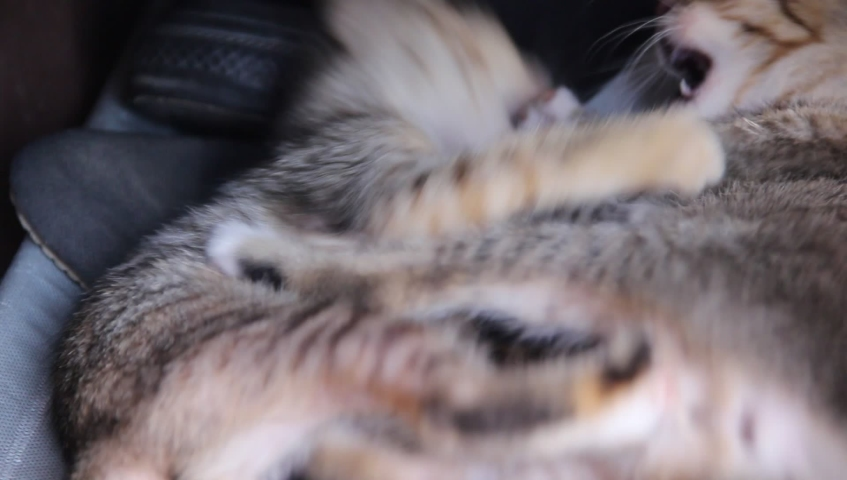 Two cat baby gray tabby adorable playing together , nature animal family on background | Shutterstock HD Video #1039325849