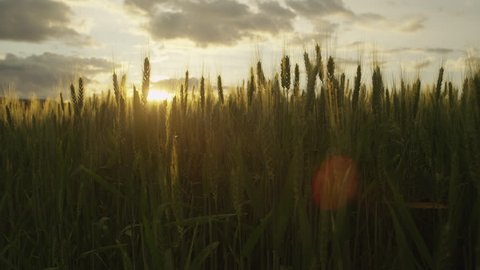 SLOW MOTION: Sunset sun shinning through wheat blades on a agricultural field at beautiful sunset