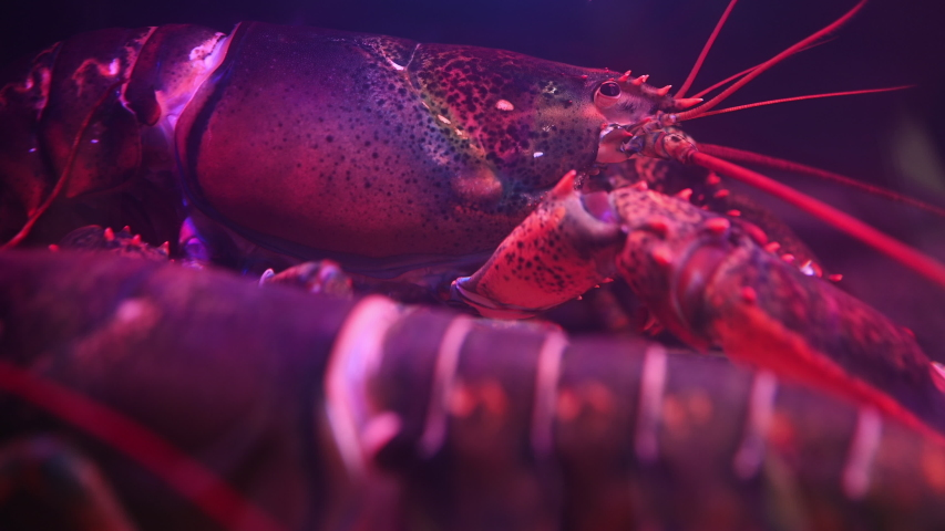 Live lobsters in a tank at seafood restaurant #1041385489