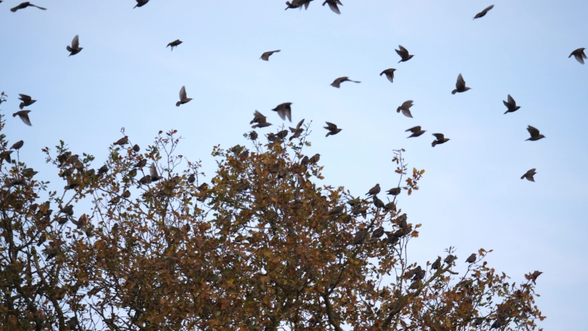 Autumn scenic flock of birds starlings fly from tree | Shutterstock HD Video #1041391729
